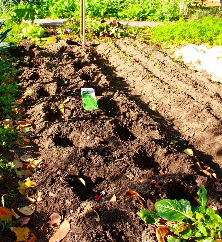 Arezzo meteo l orto d inverno for Piantare piselli