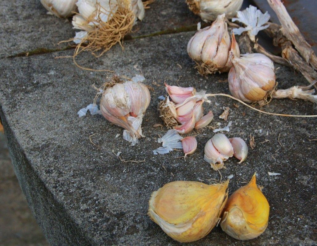 Arezzo meteo l orto d inverno for Seminare aglio