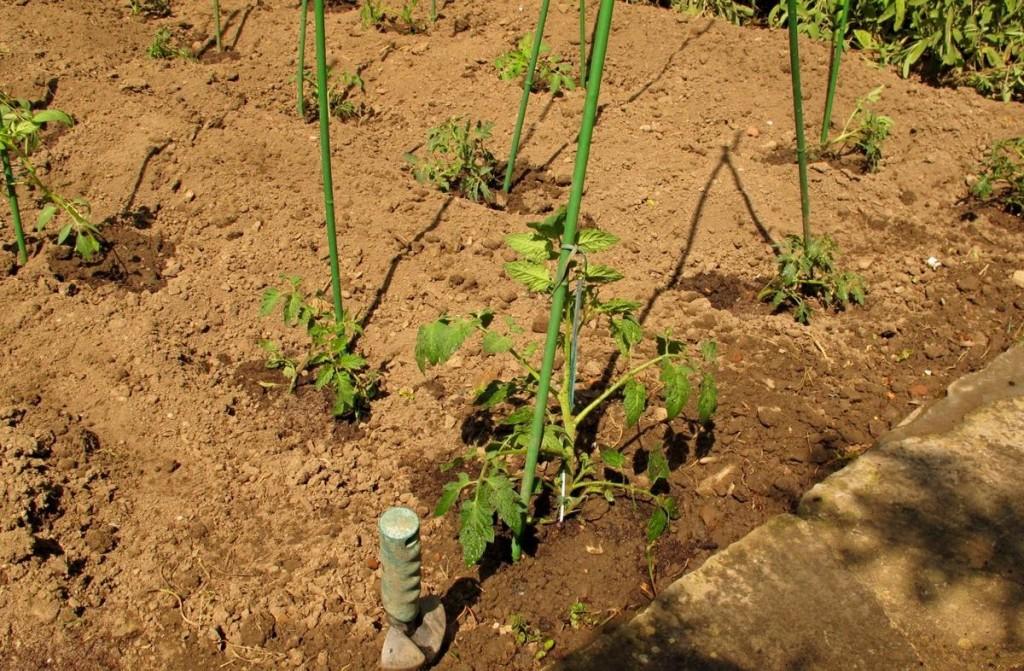 Come si piantano i pomodori trendy modi per coltivare for Piantare piselli